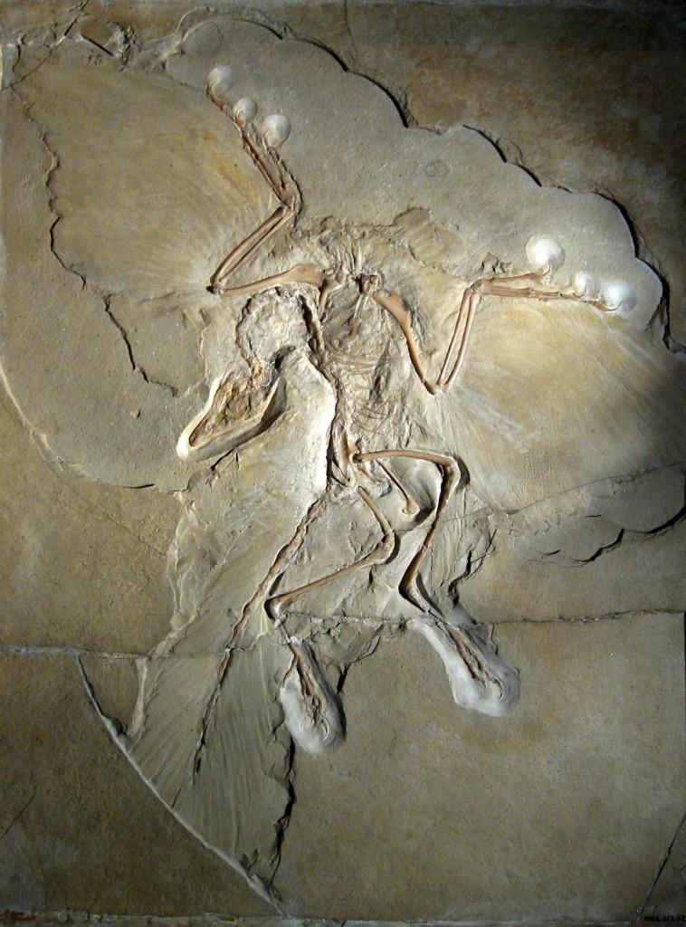 Archaeopteryx lithographica, জার্মানিতে পাওয়া আধুনিক পাখির ট্রানজিশনাল ফসিল