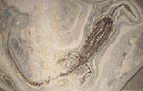 চিত্রঃ Mesosaurus ফসিল ,এটি একই সাথে ব্রাজিল ওদক্ষিণ আফ্রিকায় পাওয়া যায়। এটি একটি স্বাদুপানির কুমির জাতীয় প্রাণী।