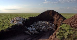 Workers struggled to keep up with the mass dying, quickly burying the animals that died in heaps (shown here). (Photo credit: Sergei Khomenko/FAO)