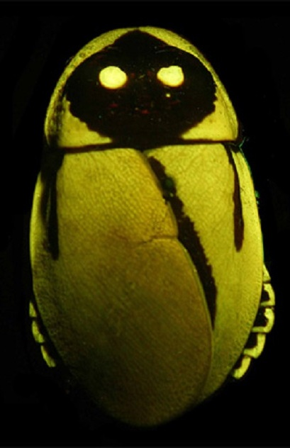 ছবি - Peter Vršanský and Dušan Chorvát (http://en.wikipedia.org/wiki/File:Glowing-roaches.jpg)