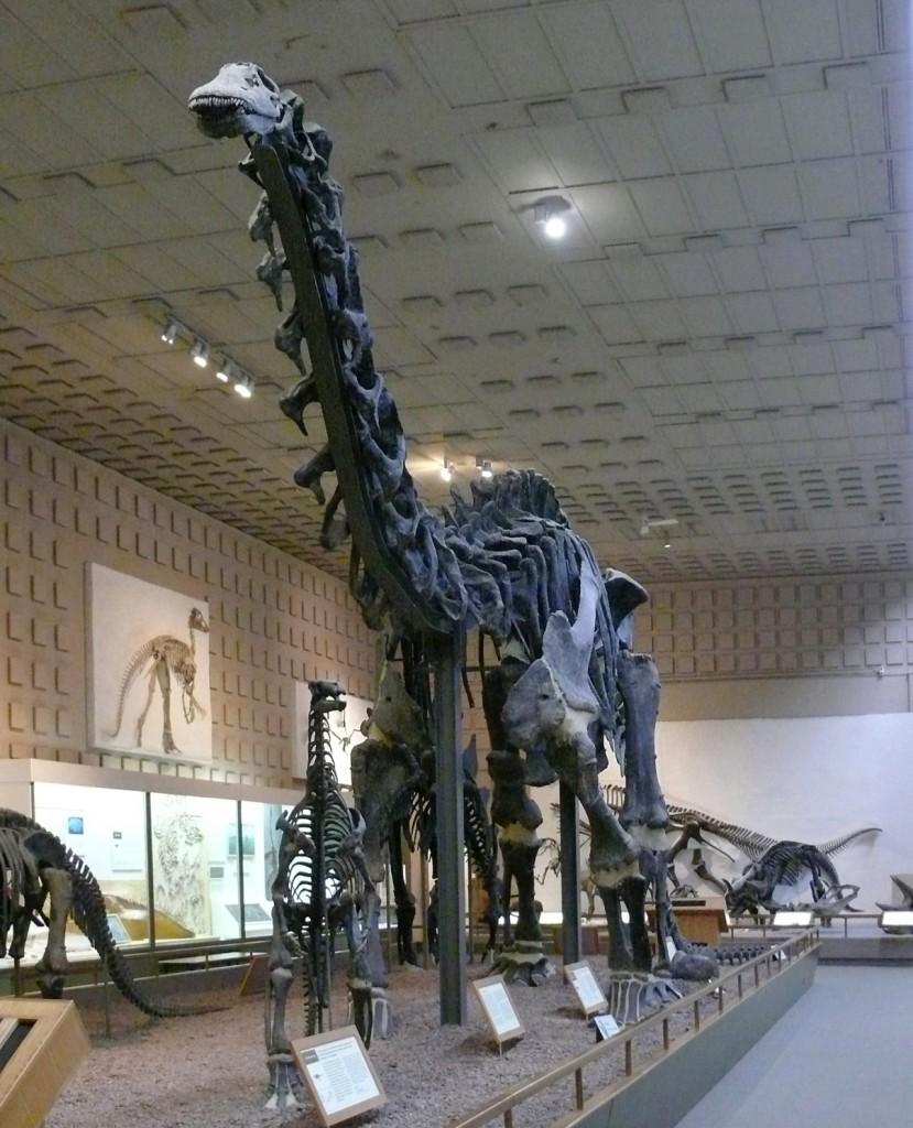 Apatosaurus_Yale_Peabody_cropped