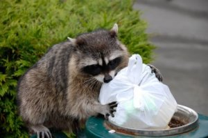 raccoon_in_garbage_s3