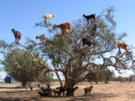 tree-dwelling-goats