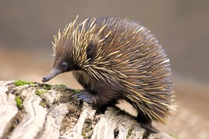 Echidna(আহখিডনা), spiny anteaters নামেও পরিচিত