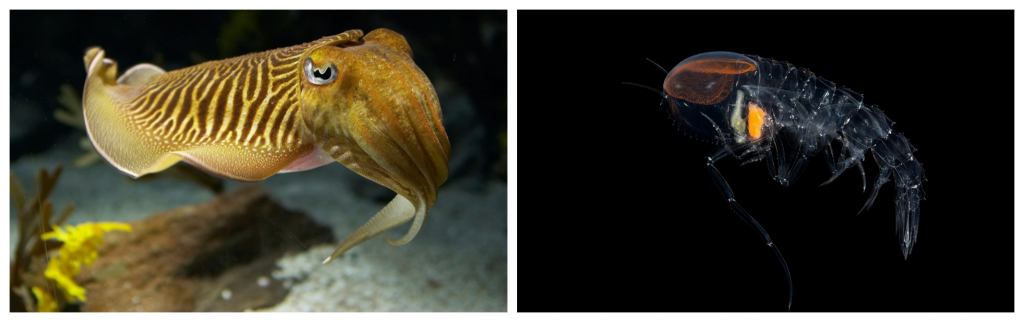 Cephalopods (স্কুইডের মতো একাধিক শুঁড বিশিষ্ট প্রাণী), ও Crustacean-দের ছদ্মবেশ।